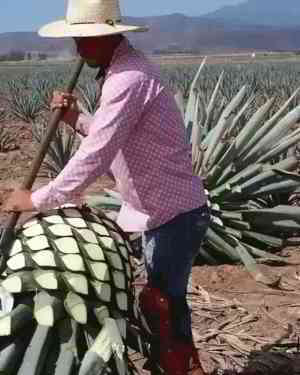 A farmer sheering the blue agave in Mexican tequila farm