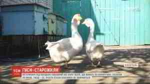 25-річний гусак мешкає зі своєю 23-річною подружкою на Вінниччині
