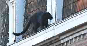 Black Panther Spotted Prowling Roofs In French Town
