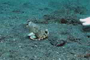 Diver convince octopus to trade his plastic cup for a seashell
