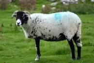 Ram sheep vs goat