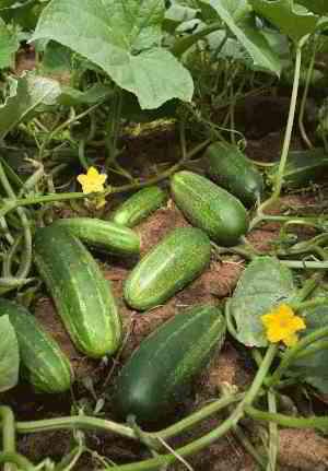 Cucumber - Wikipedia